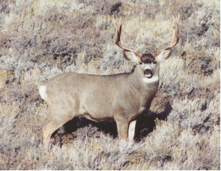 Great photo opportunities for muledeer and elk